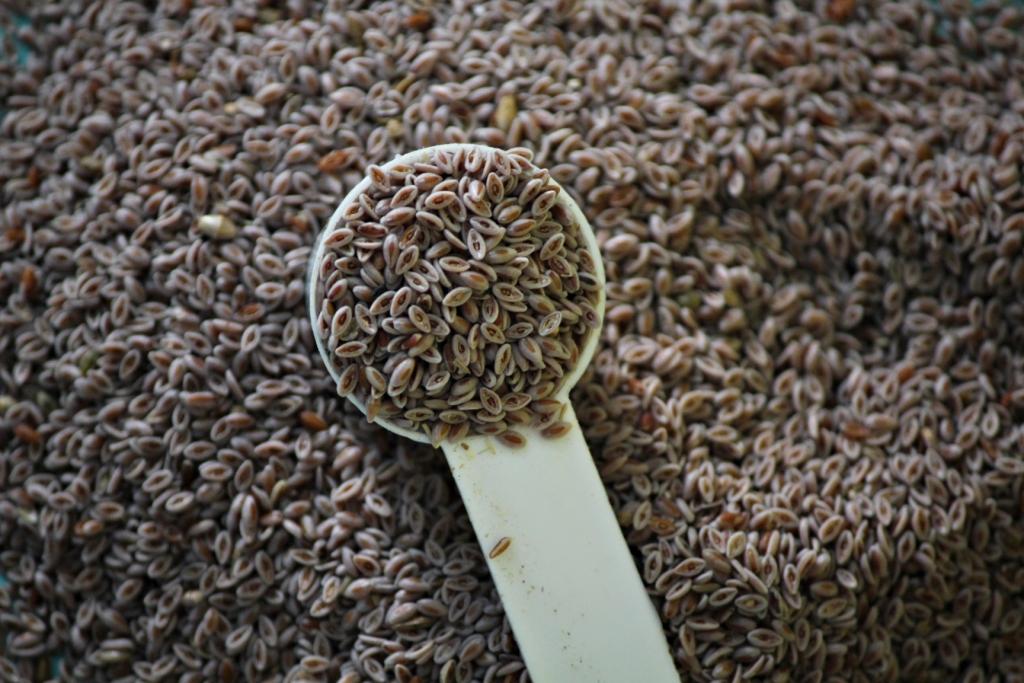 Manufacturer Supplier Of Plantago Ovata Psyllium Seeds